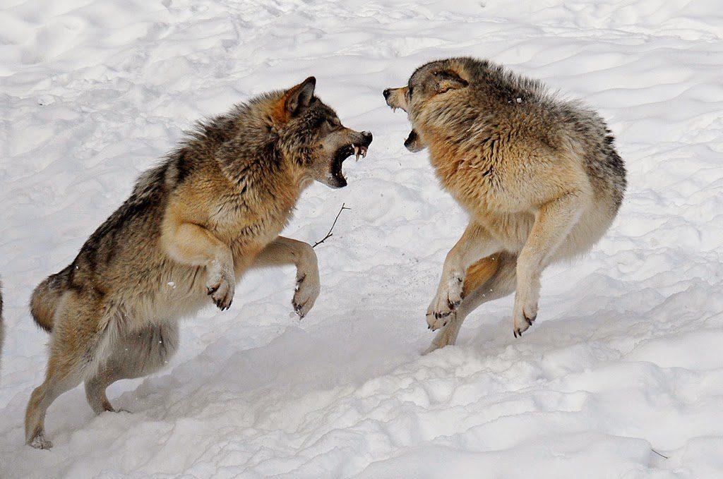 Wolf Fight, Cornerstone Martial Arts & Leadership Academy Arlington TX